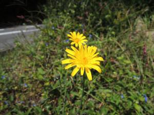 シルバーウィークの菊の花