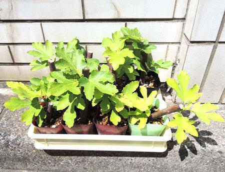 イチジクは観葉植物ですw|呉市からオーダー枕のお客様
