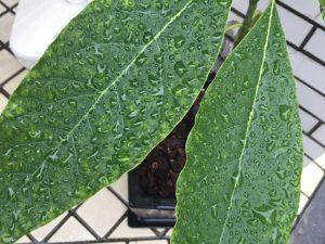アボカドの葉の上ではじかれた水滴。パイプは吸水性と吸湿性がないというイメージ