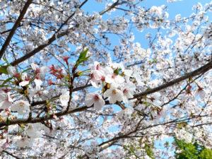 サクラの画像。春のイメージ